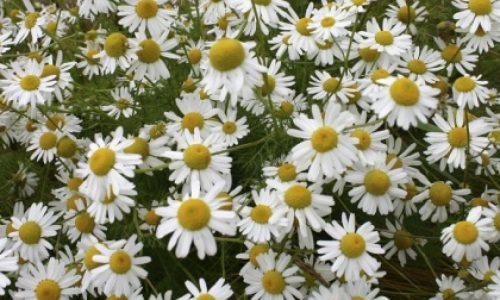 flor manzanilla